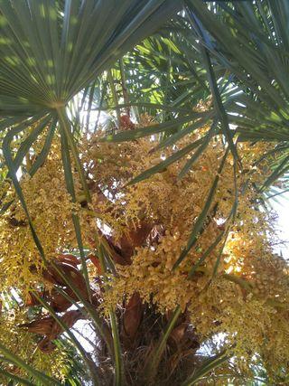 PalmBlossoms
