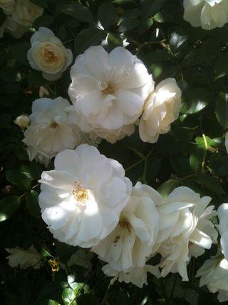 RoseBlossoms